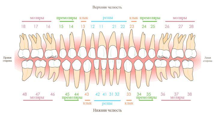 Нумперация и названия коренных зубов
