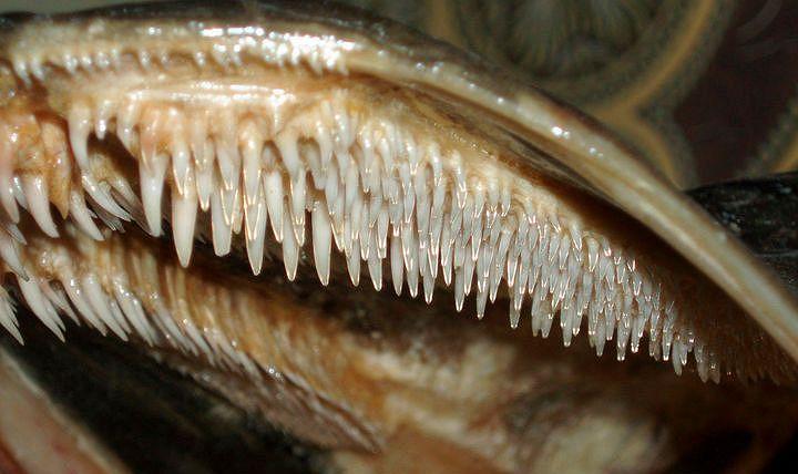 Строение верхней челюсти щуки