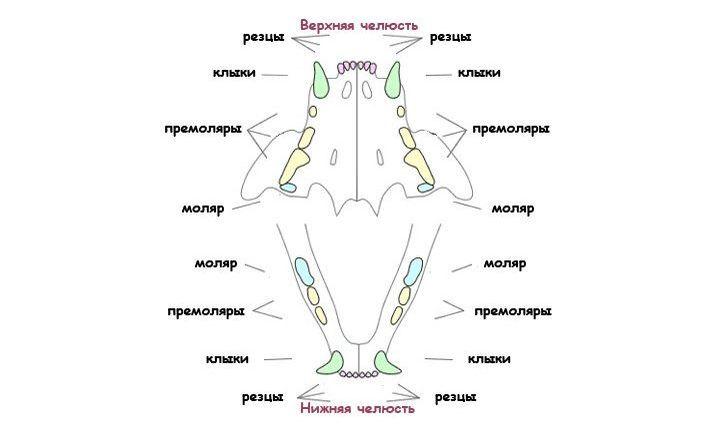 Схема зубов кошки
