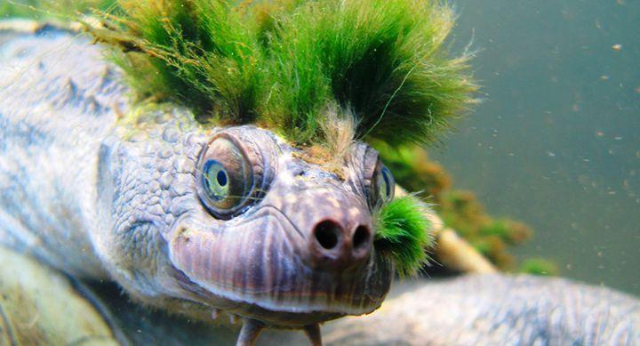 Морская черепаха с хохолком из водорослей