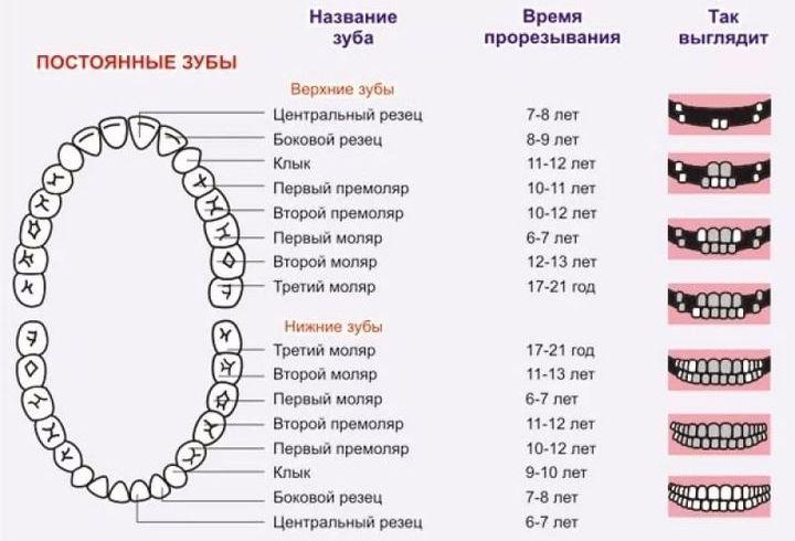 Схема смены зубов